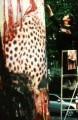 Gepard mit Jungem -  Life-Übermalung Im Rahmen der Euroga und Perpetuum mobile 2002  Wieder am Adenauerplatz  Januar 2003